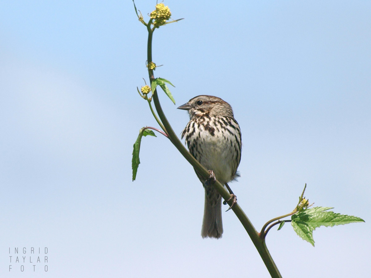 Song Sparrow on Flower Stem