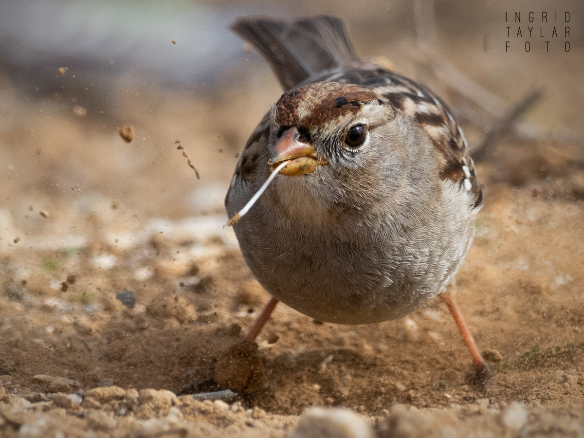 Sparrow Foraging