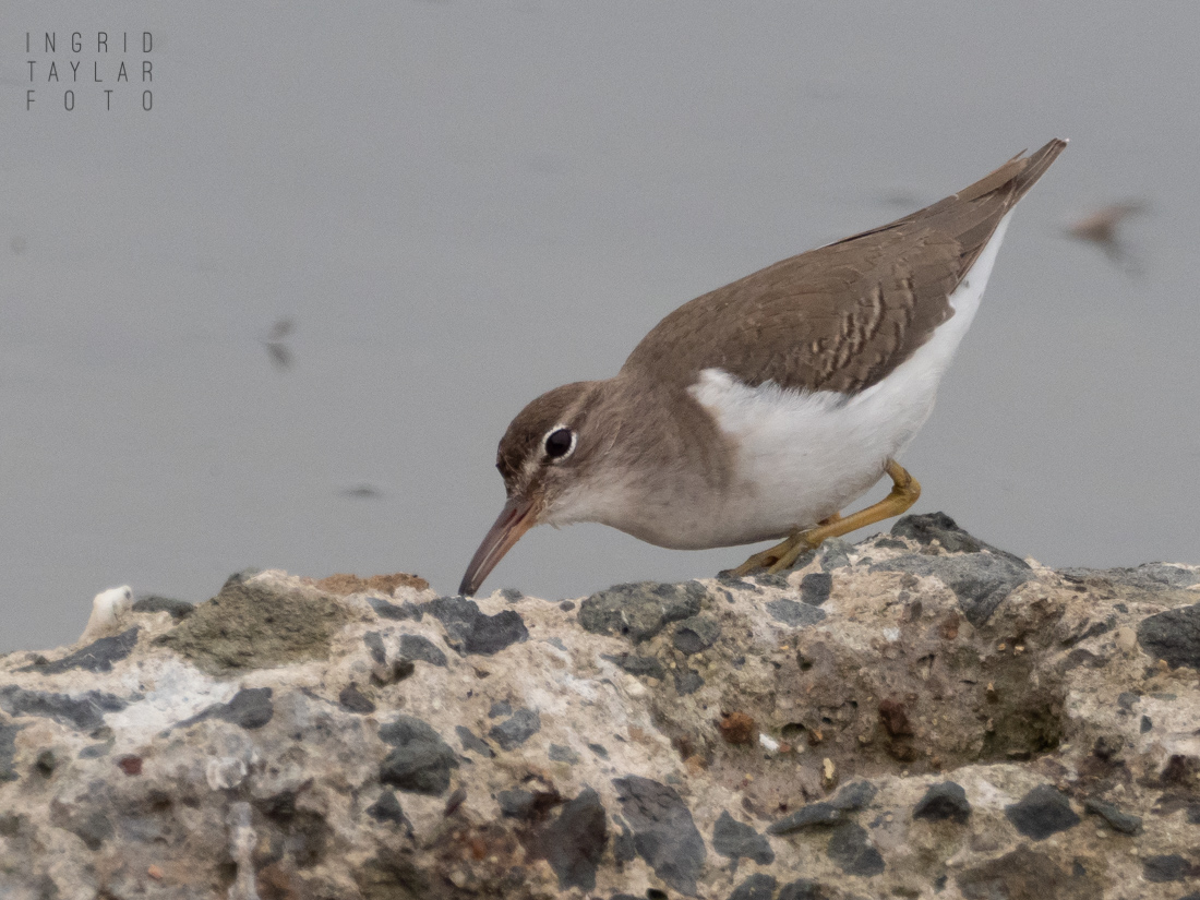 Spotted Sandpiper Foraging on Rocks