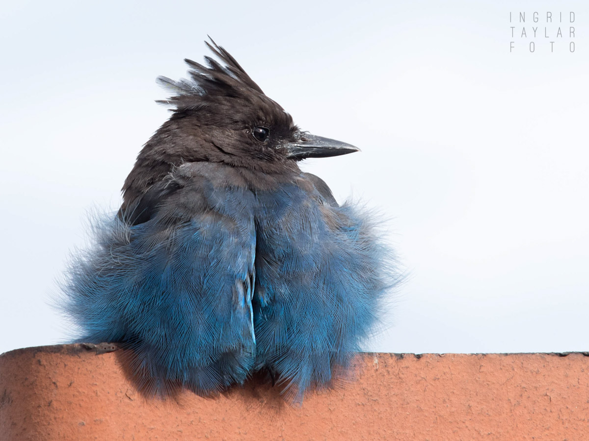 Steller's Jay Perched on Chimney