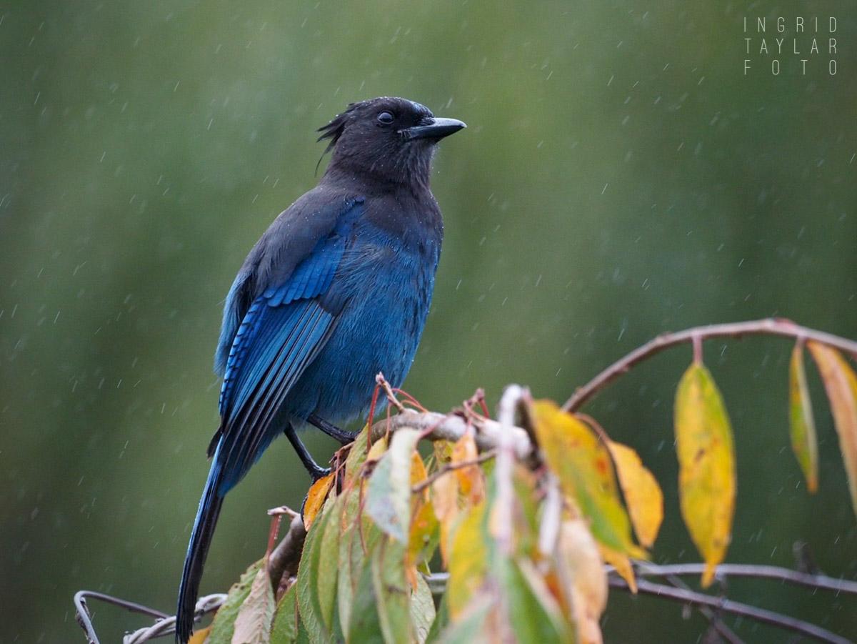 Steller's Jay in the Rain