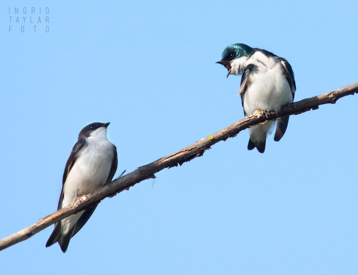 Tree Swallow Conversation