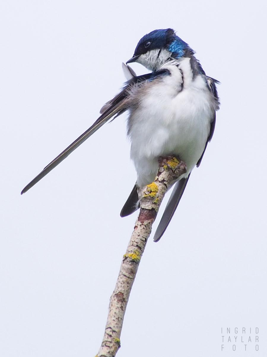 Tree Swallow Preening