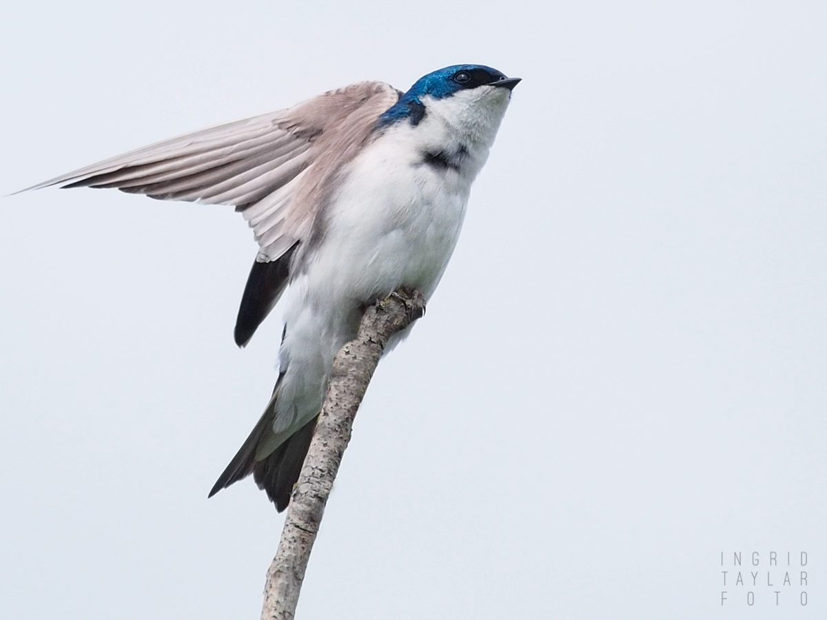 Tree Swallow on Branch