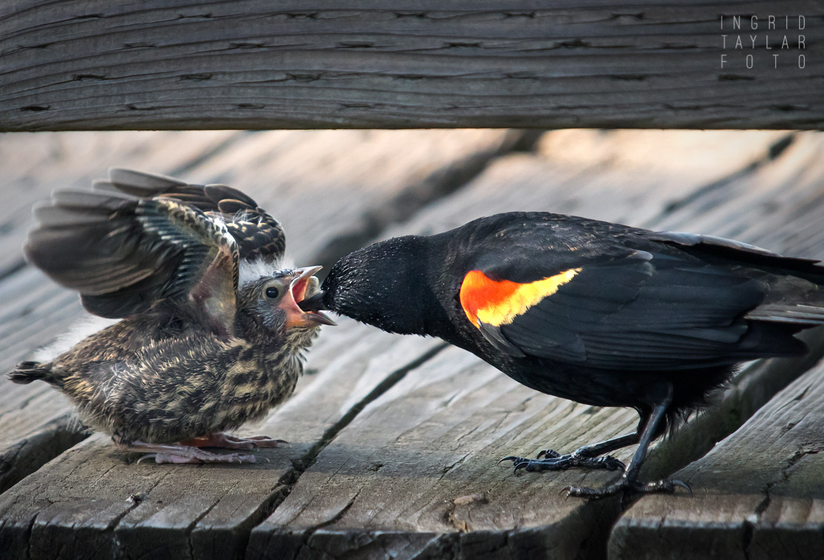 Tri-Colored Blackbird Father Feeding Fledgling