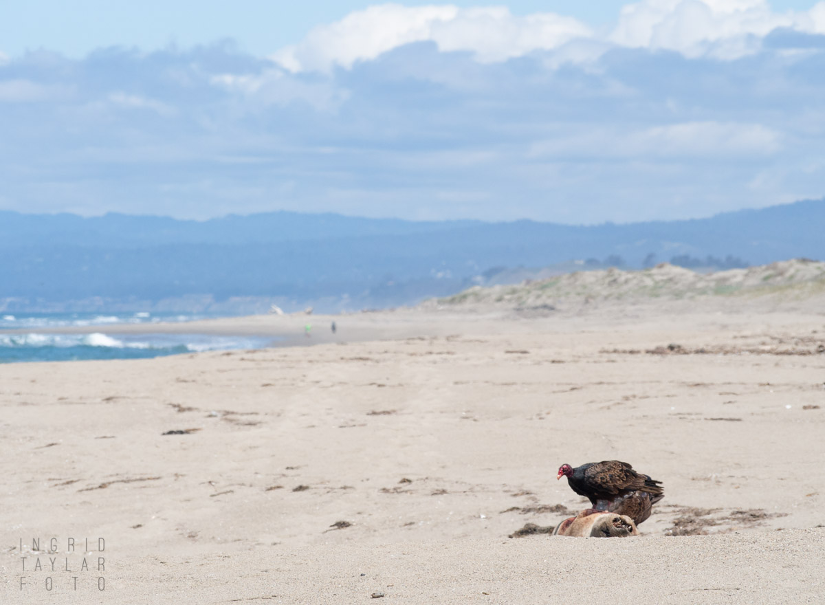 Vulture Eating Carrion on Beach