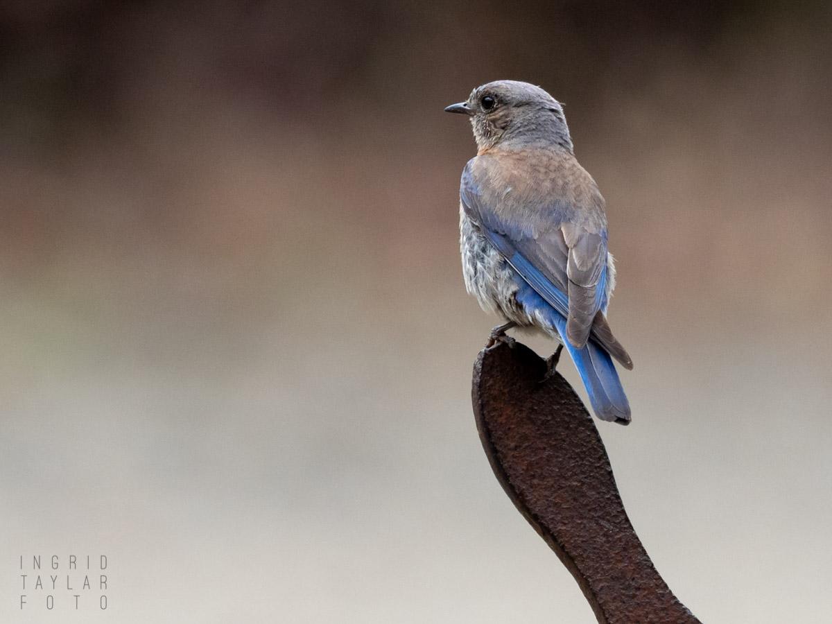Western Bluebird on Handle