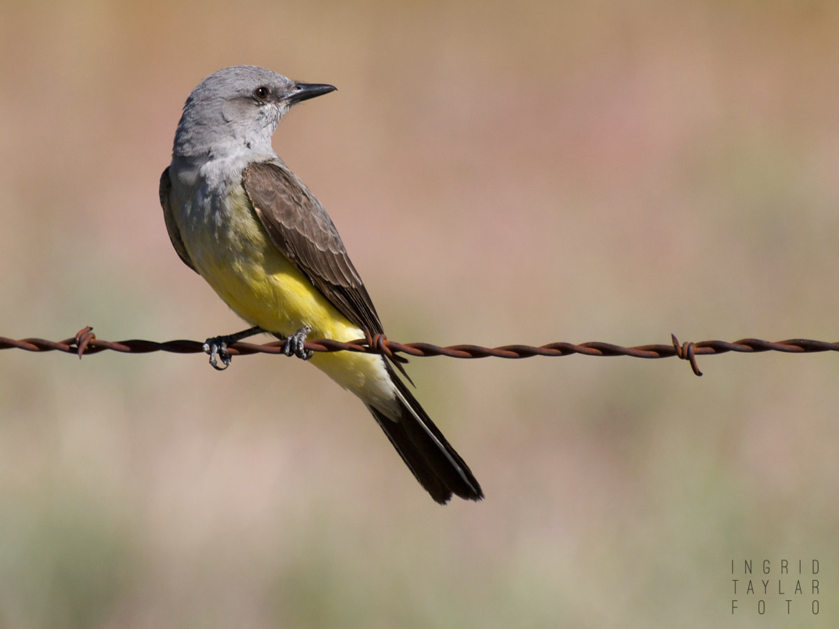Western Kingbird on Barbed Wire