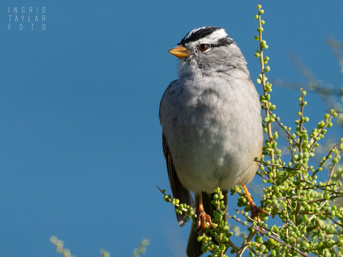 White-Crowned Sparrow in Greenery