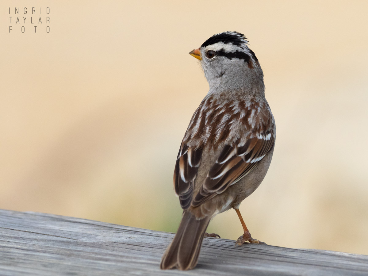 White-Crowned Sparrow on Picnic Table