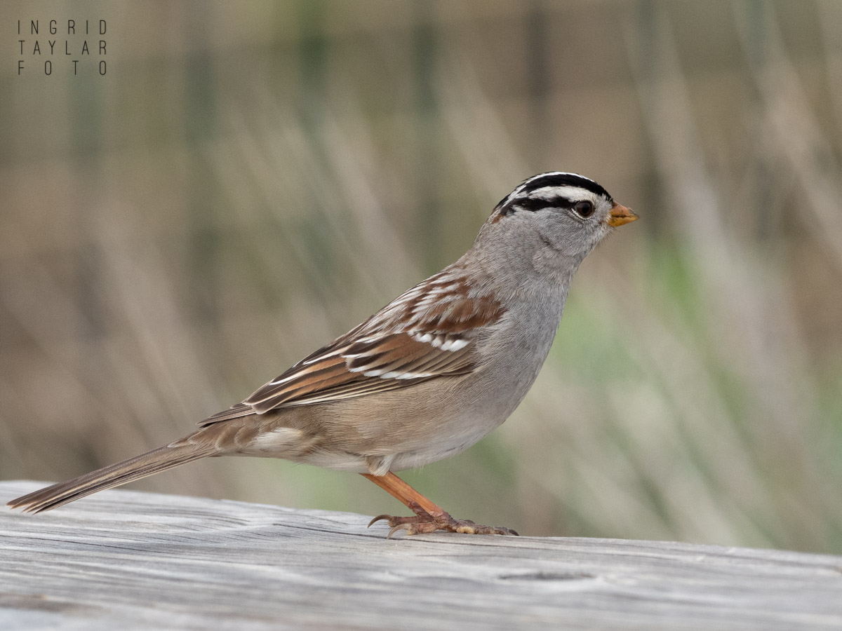 White-Crowned Sparrow at Terranea in Palos Verdes