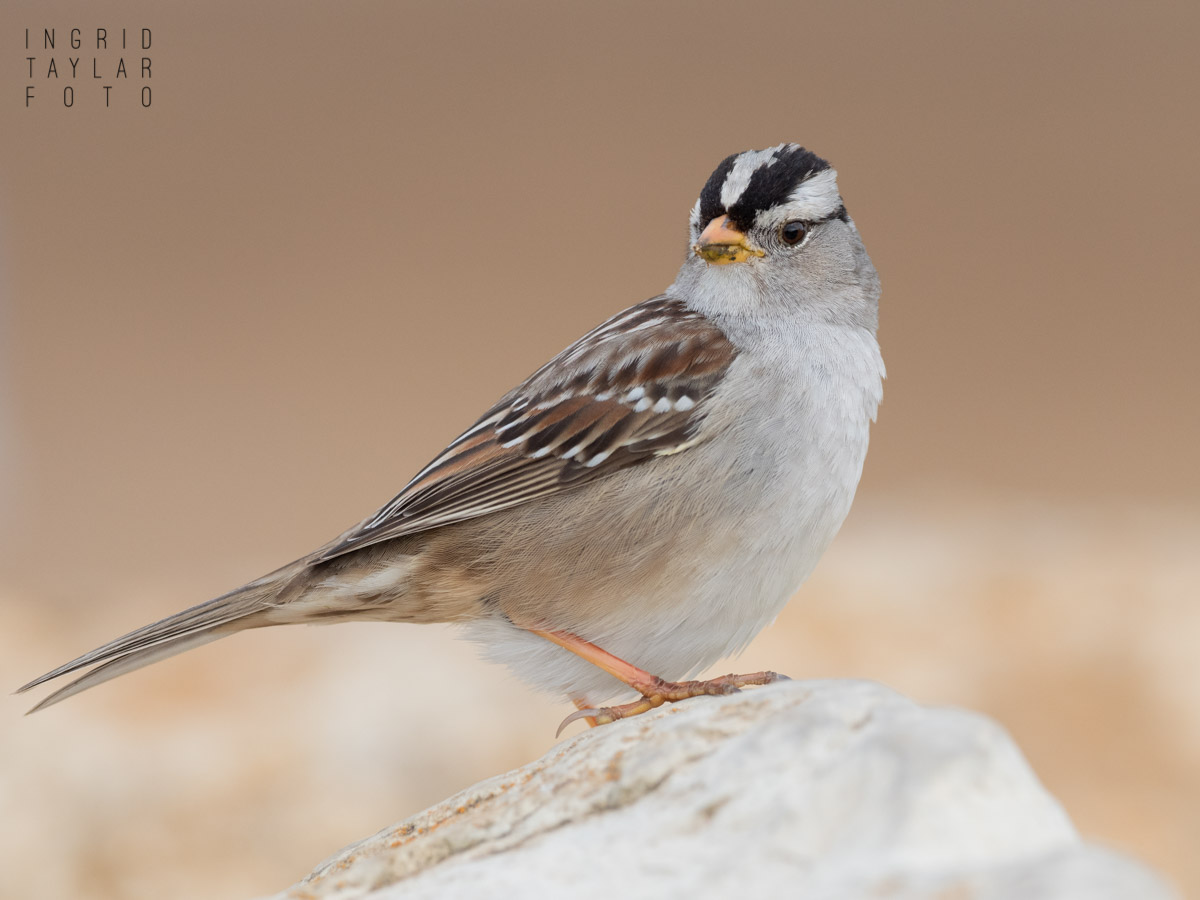 White-Crowned Sparrow on Rock