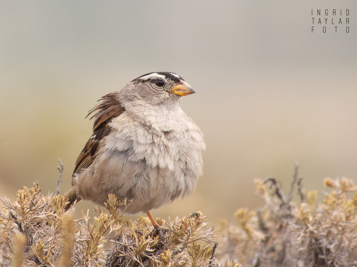 White-Crowned Sparrow on Shrubs