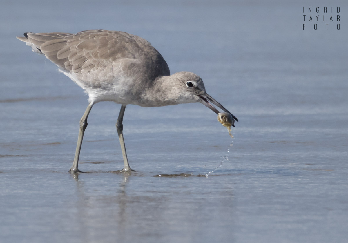 Willet Eating Mole Crab