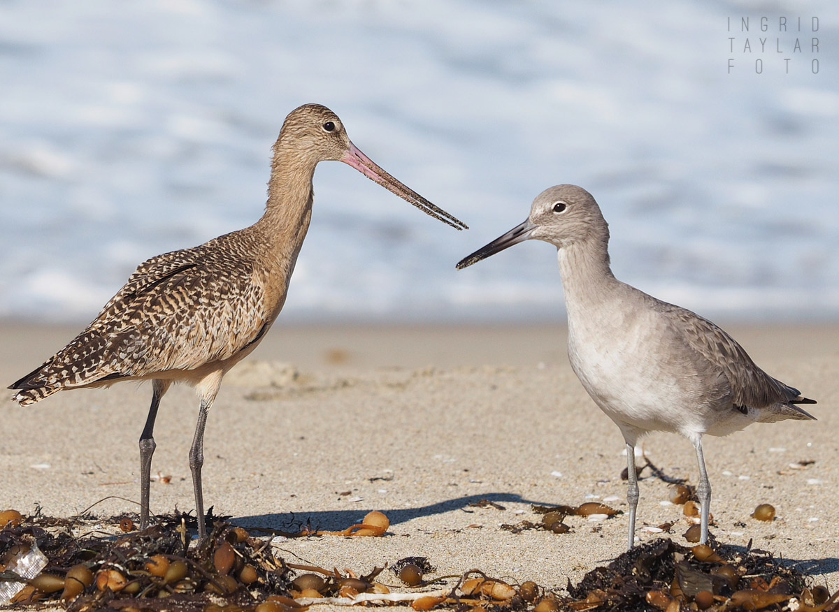 Willet and Marbled Godwit on the Beach