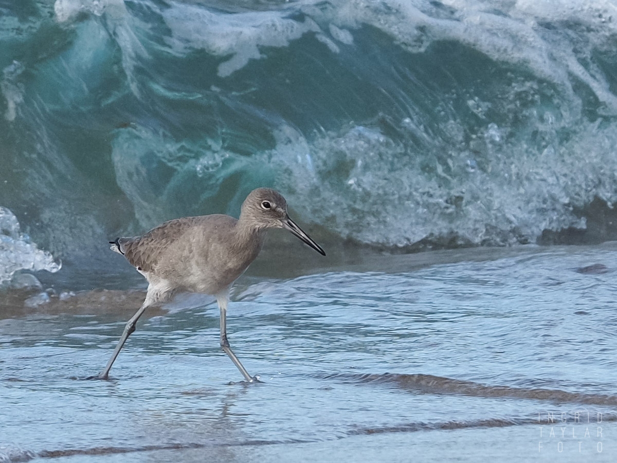 Willet in a Pacific Wave