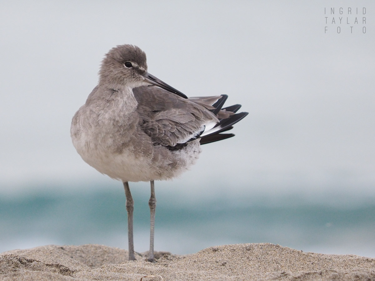 Willet on the Pacific