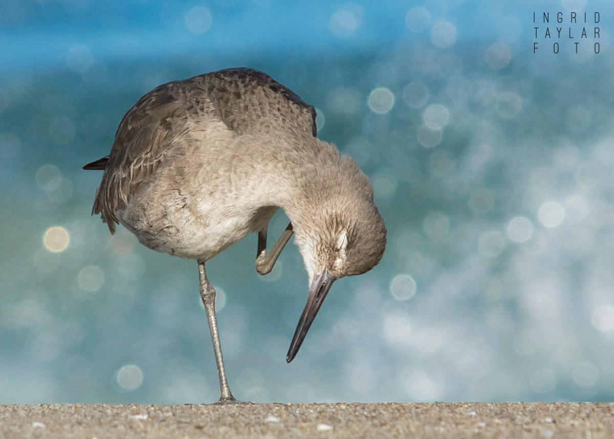 Willet with Bubble Backdrop