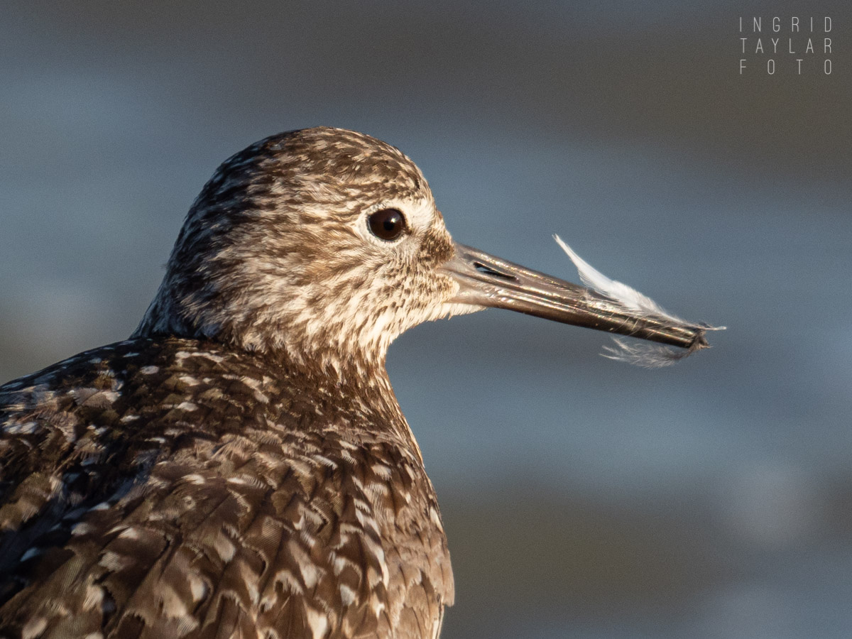 Willet with Preening Feather