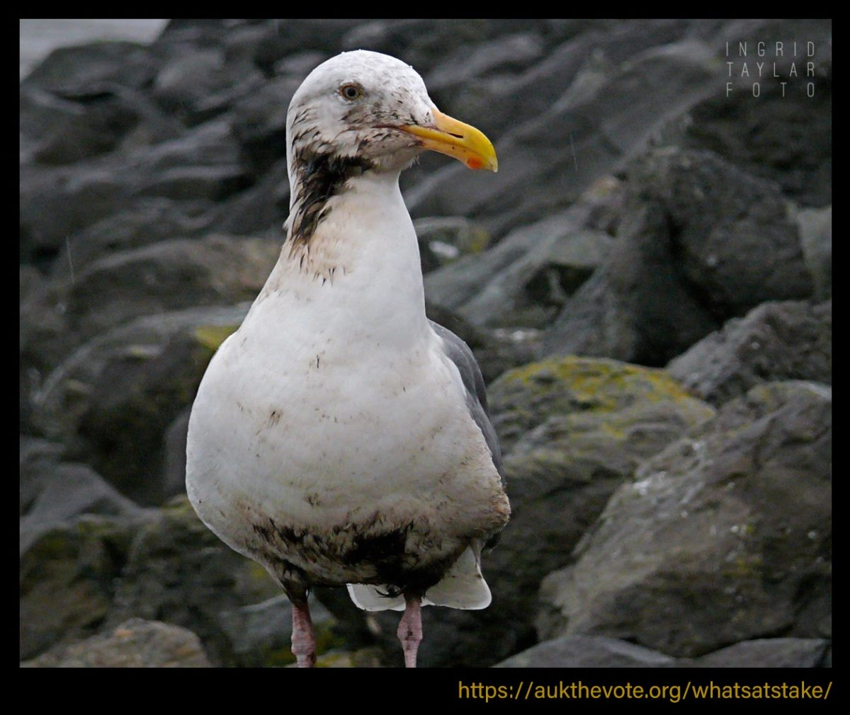 Oiled Gull in Cosco Busan Oil Spill