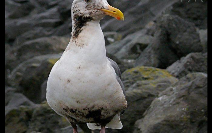 Oiled Gull