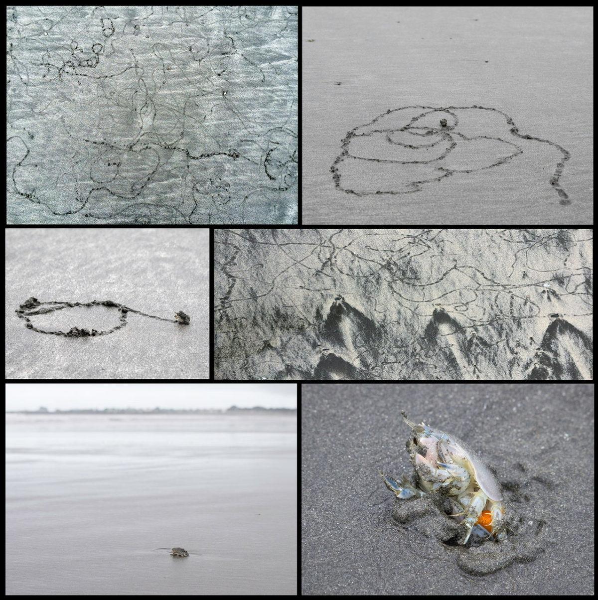 Pacific Mole Crab Collage