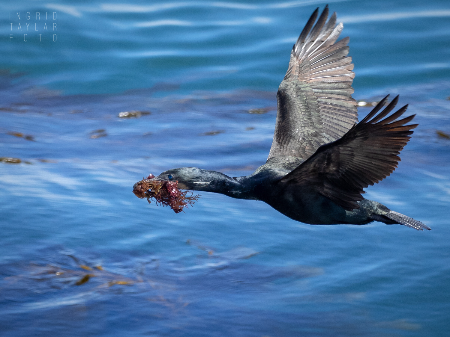 Brandt's Cormorant Flying with Seaweed Nesting Material