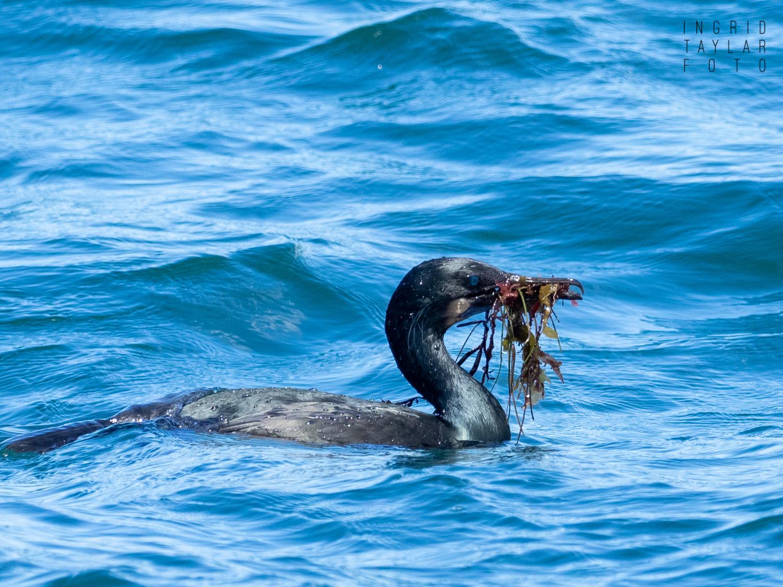Brandt's Cormorant Foraging Seaweed Nesting Material