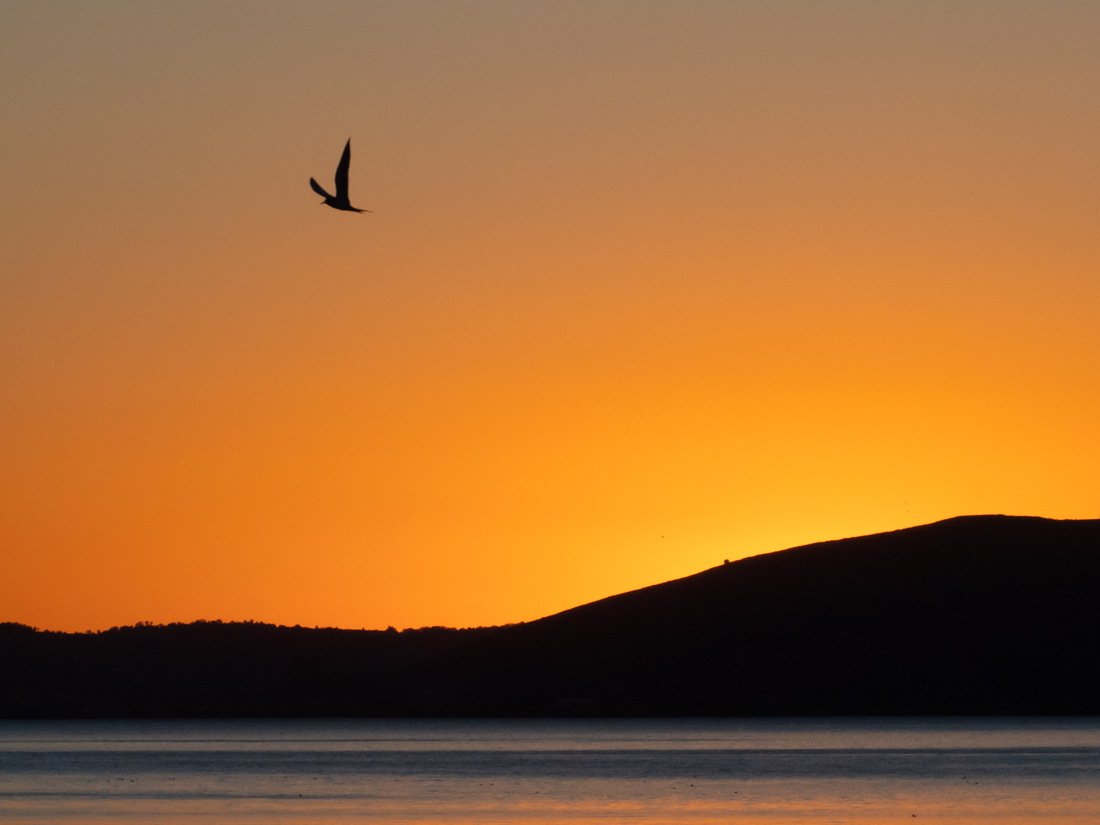 Tern Silhouette at Sunset