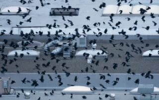 Hundreds of Crows Flying Into Roost
