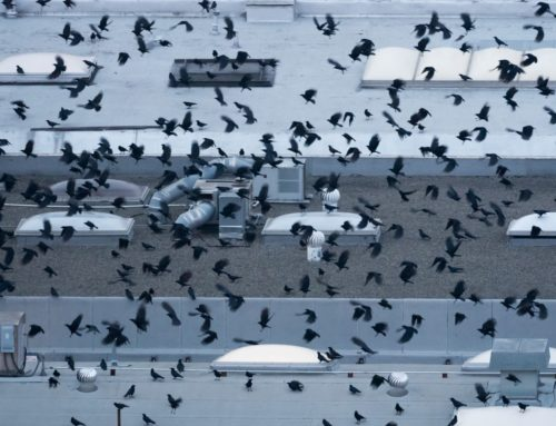 The Great Oakland Crow Fly-In (video)
