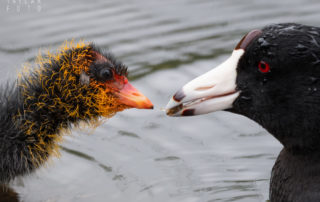 American Coot Feeding Chick 1