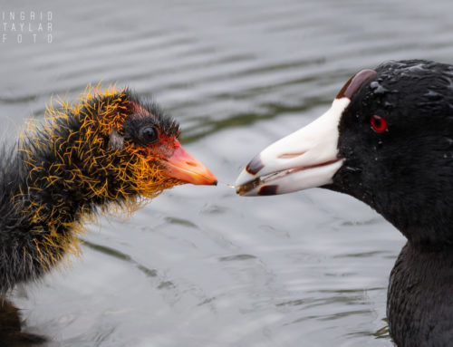 American Coot Parents Feeding Chicks