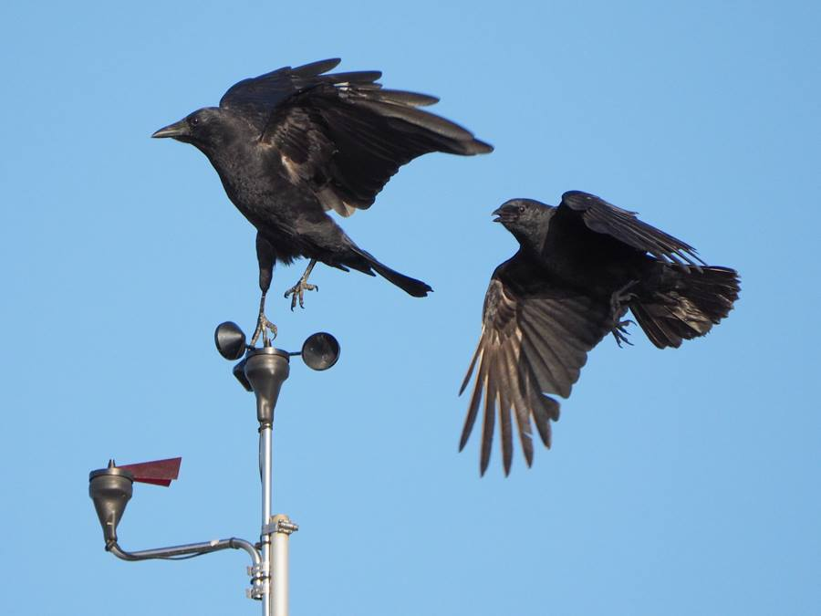American Crows on Anometer