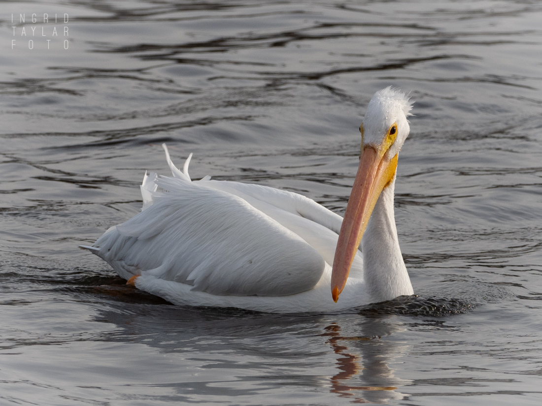 American White Pelican Swimming on Lake Merritt