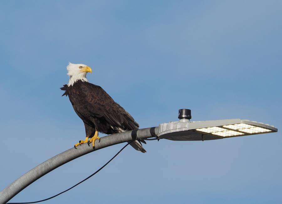 Bald Eagle on Light Pole