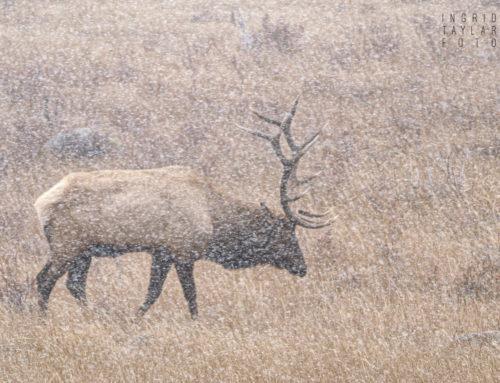 Bull Elk in a Snowstorm