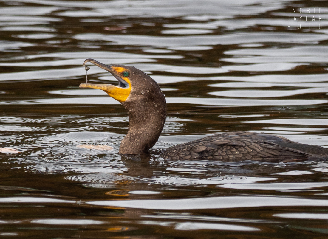 Double-crested Cormorants Fishing for Grit in Lake Merritt
