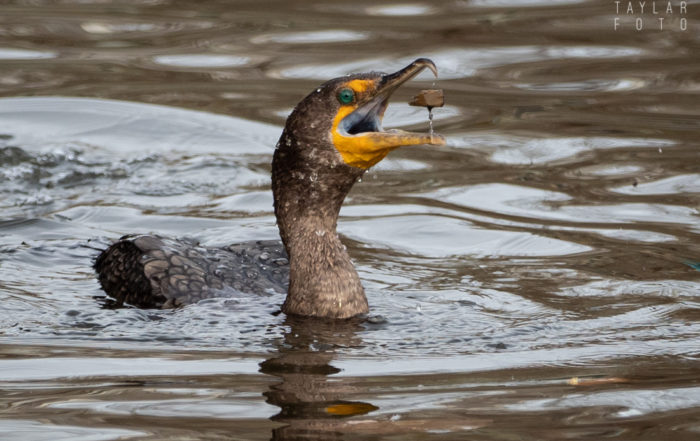 Double-crested Cormorants Fishing for Grit 2