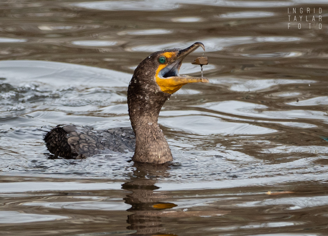 Double-crested Cormorant fishing for grit in Lake Merritt