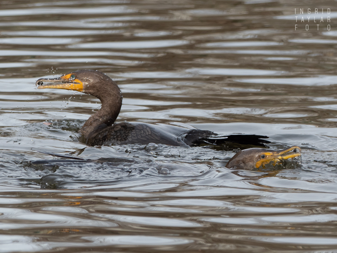 Double-crested Cormorants Fishing for grit in Lake Merritt Oakland