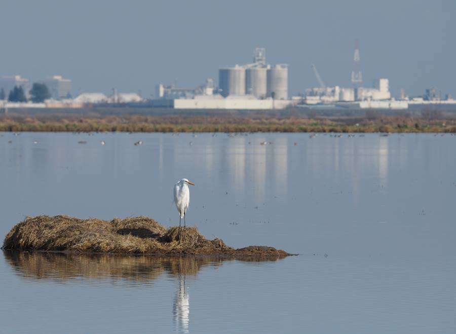 Great Egret with Industrial Background