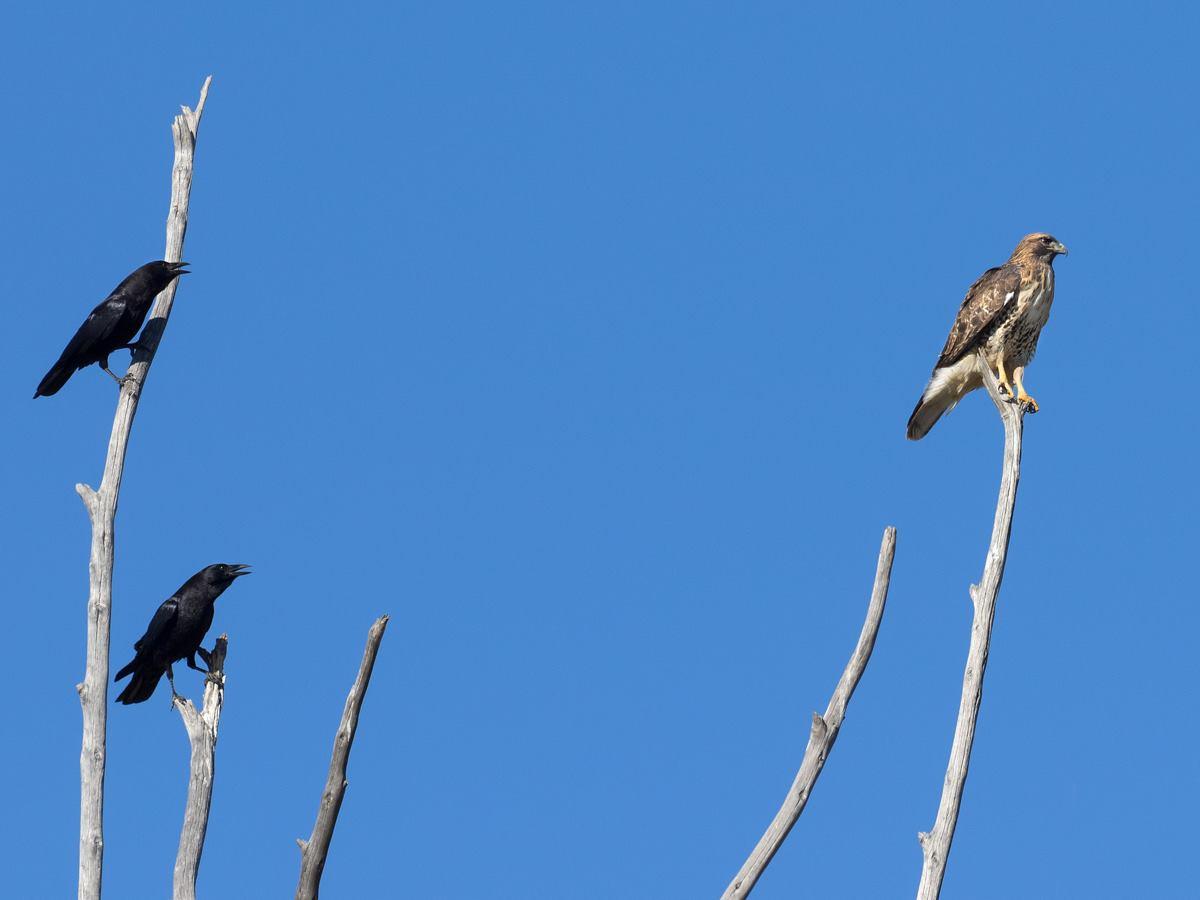 Crows Mobbing Red-Tailed Hawk
