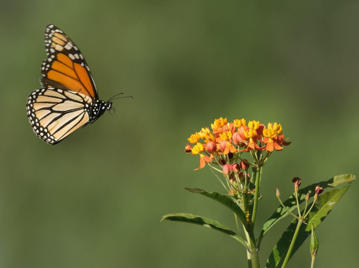 Monarch and Tropical Milkweed