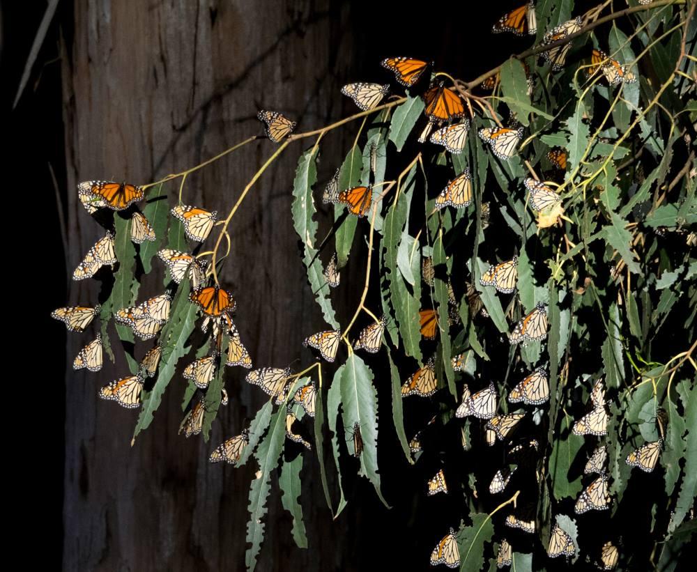 Monarch Cluster on Eucalyptus