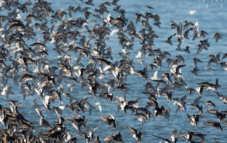 Shorebirds on San Francisco Bay