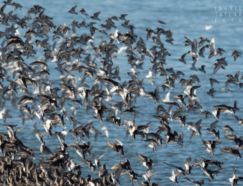 After the Election … the Bliss of Shorebirds on San Francisco Bay