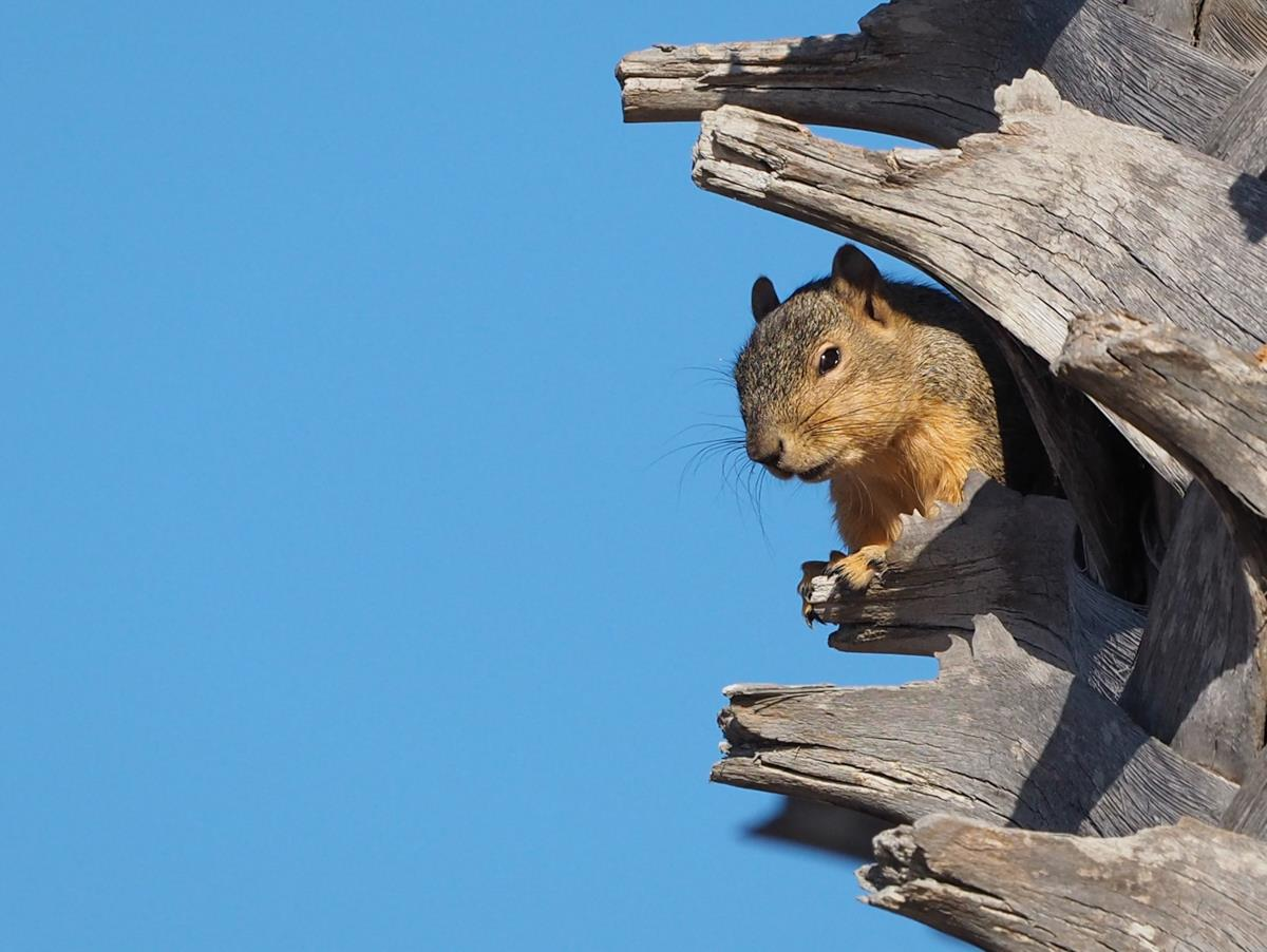 Squirrel in Palm Tree
