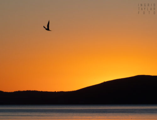 Thanksgiving Bird Silhouettes on San Francisco Bay
