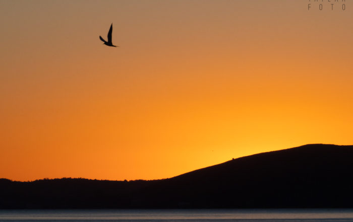 Tern Silhouette on San Francisco Bay Sunset